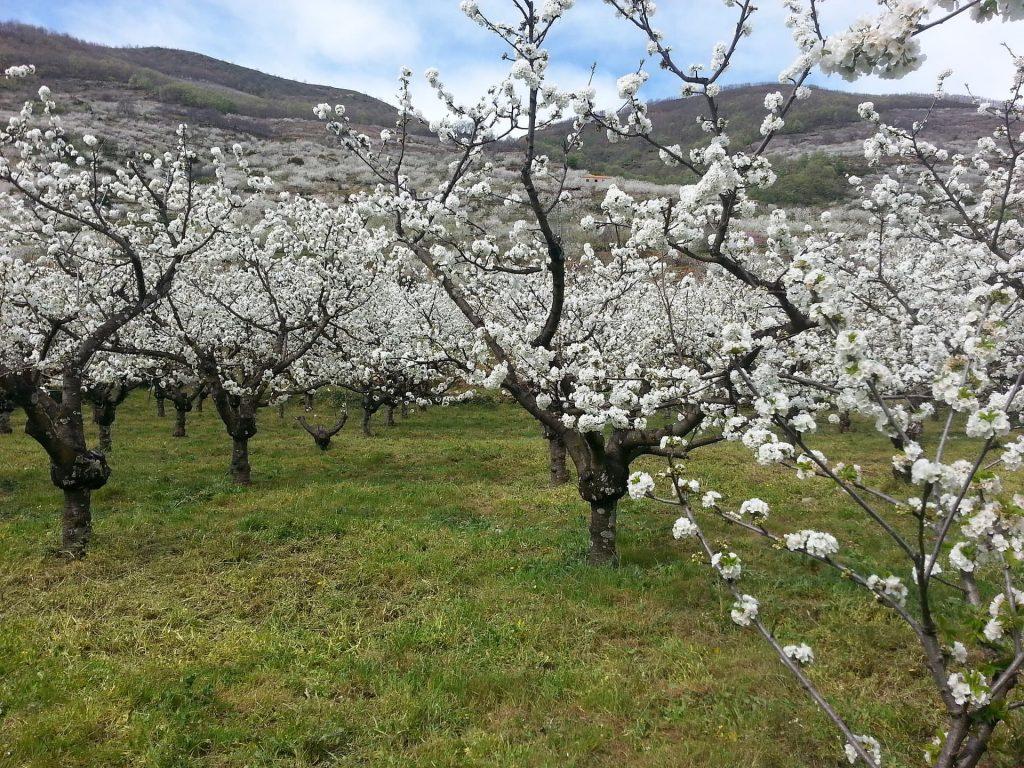 Cerejeiras em Valle Del Jerte na Espanha