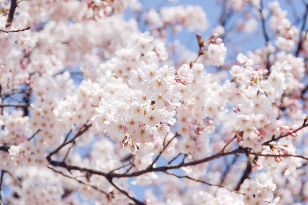 Florada das cerejeiras em Buenos Aires na Argentina
