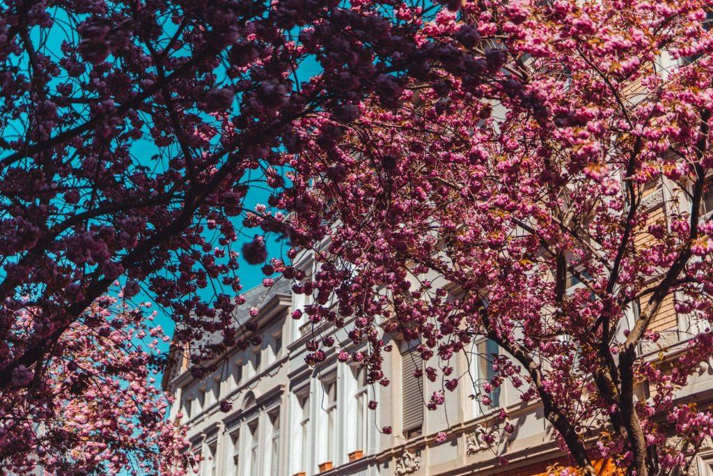 Flarada das cerejeiras em Amsterdã na Holanda