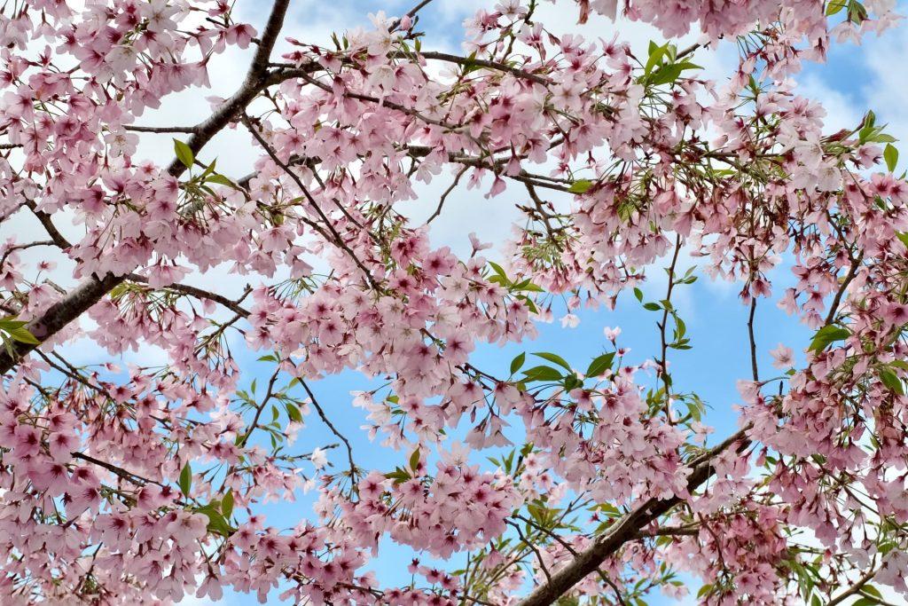 Florada das cerejeiras em Auckland na Nova Zelândia