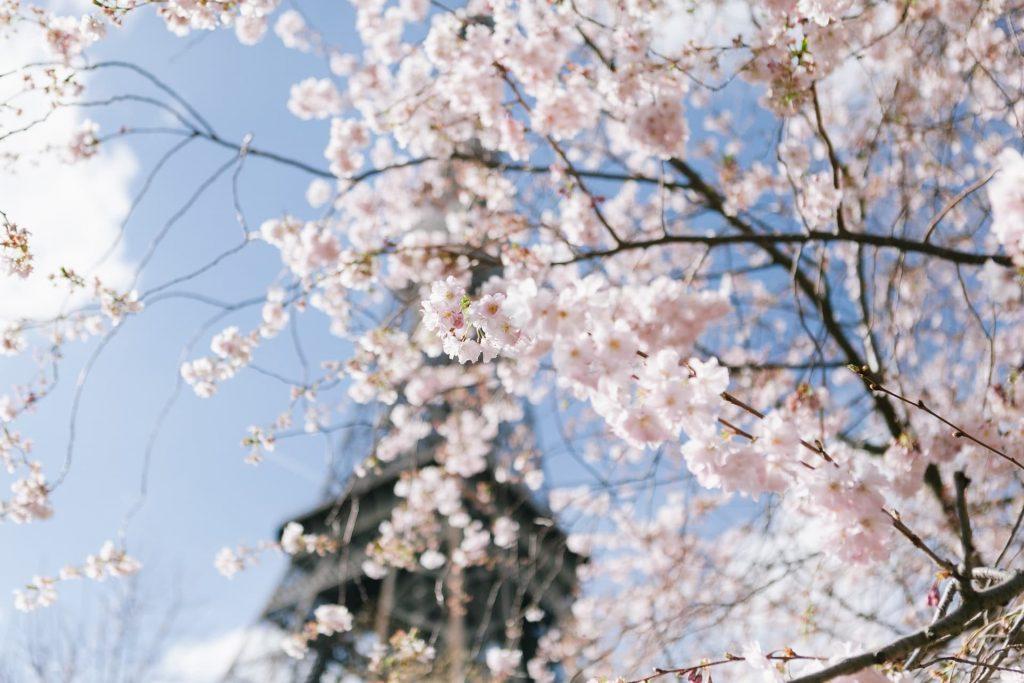Florada da cerejeiras em Paris na França