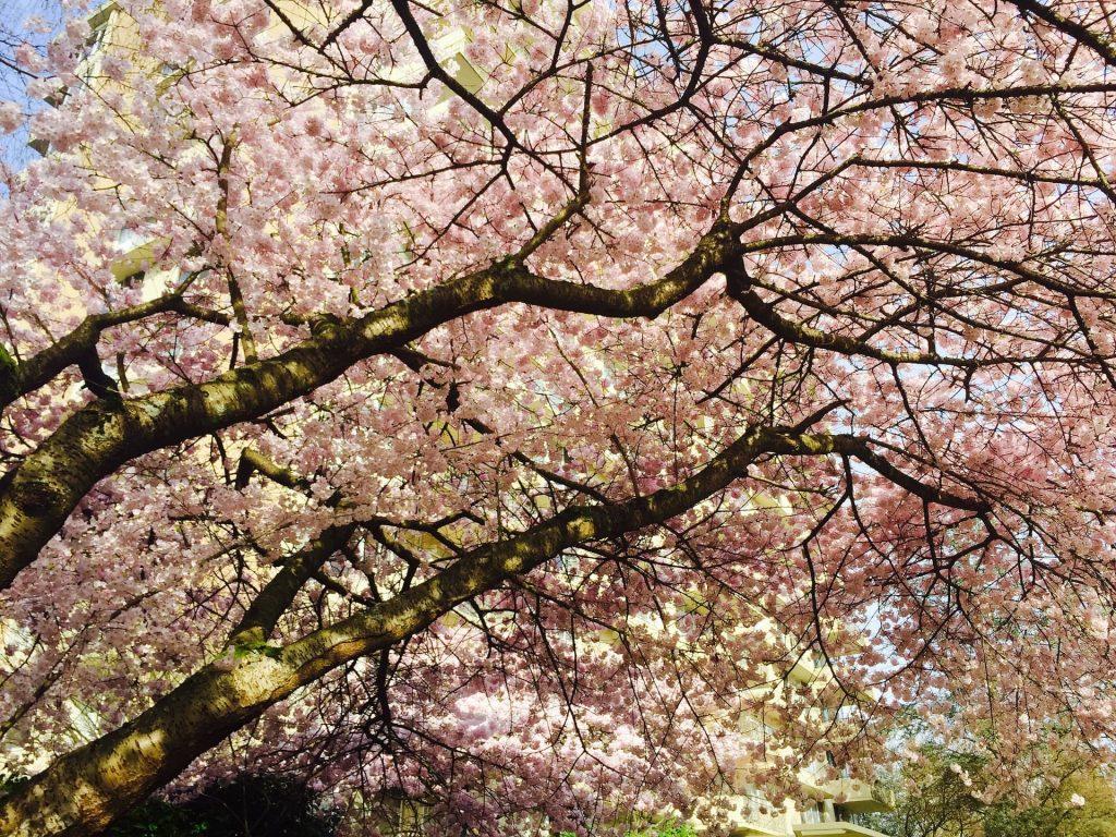 Cerejeiras em Vancouver no Canadá