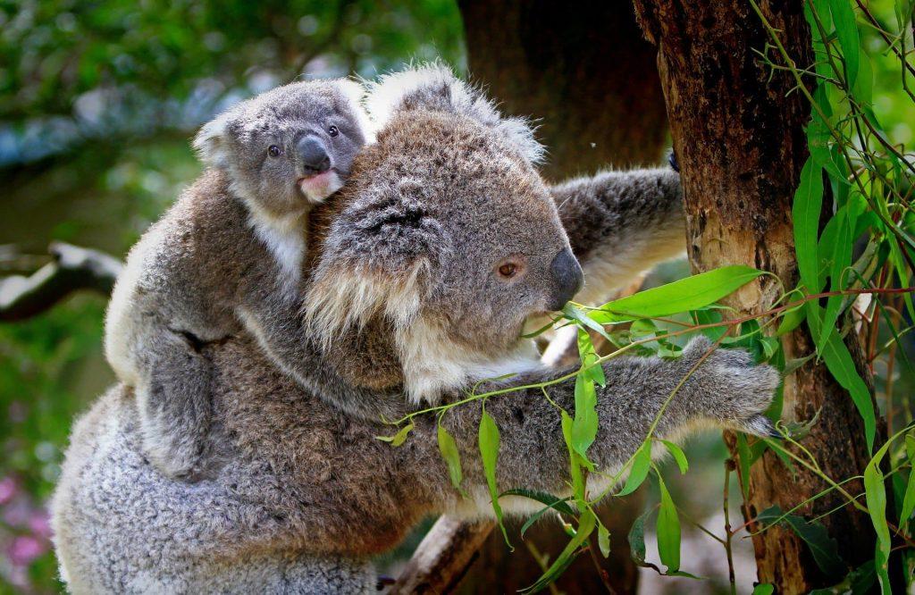 Austrália - Koala