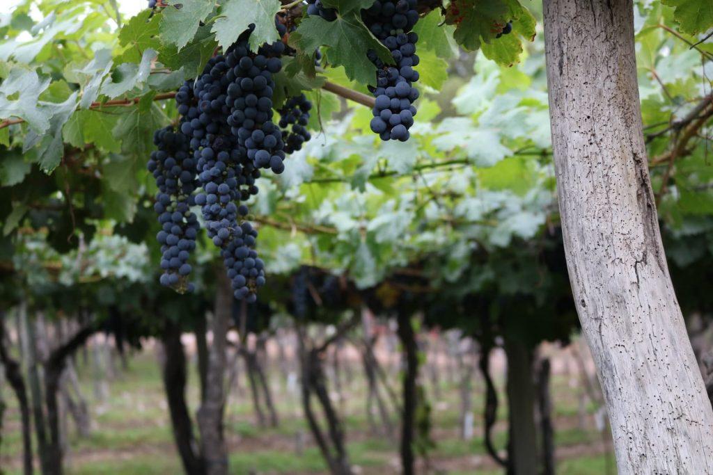Uvas em Mendoza