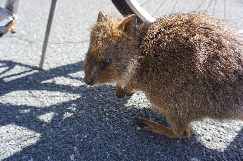 Quokkas Perth