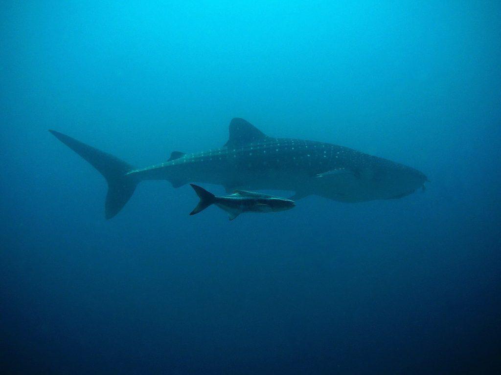 Tubarão Baleia Ilhas Maldivas