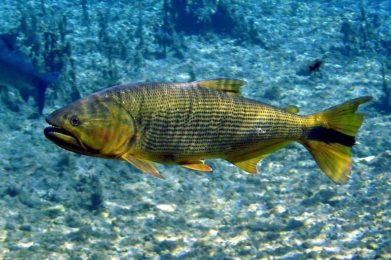 Peixe dourado do Pantanal