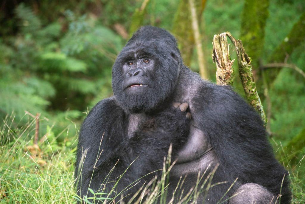uma das experiências inesquecíveis de visitar os gorilas de uganda
